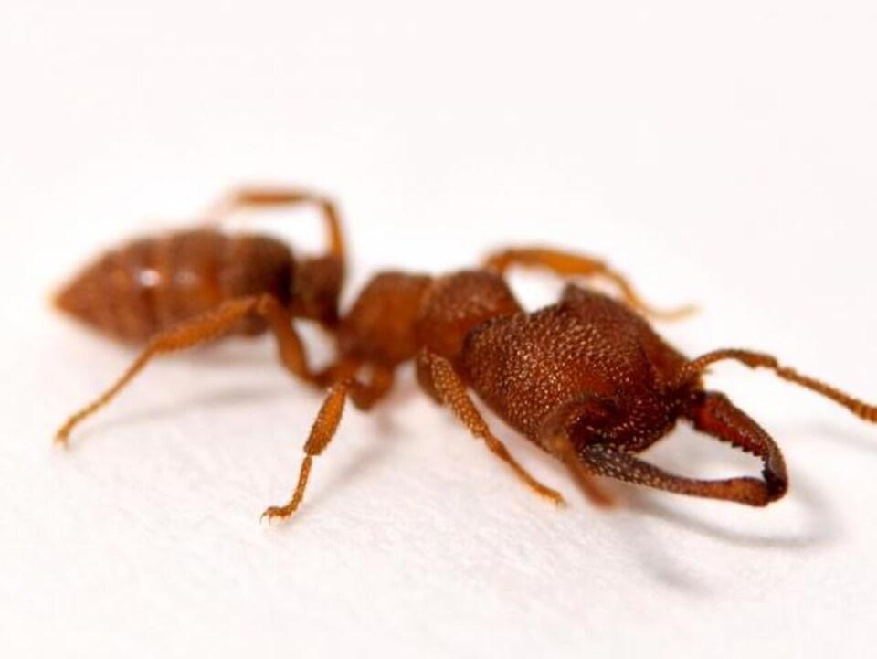 Les mandibules de la fourmi Dracula sont les appendices en mouvement les plus rapides du monde animal.