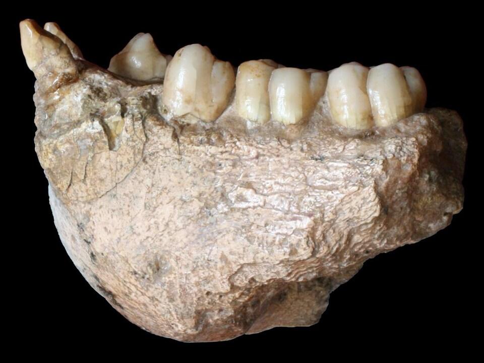 Une mandibule fossilisée de Gigantopithecus blacki.
