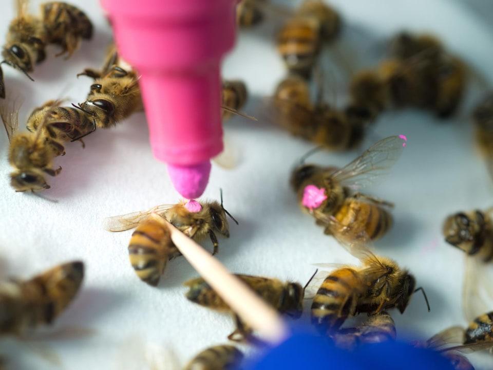 Des abeilles endormies sont marquées avec de la peinture.