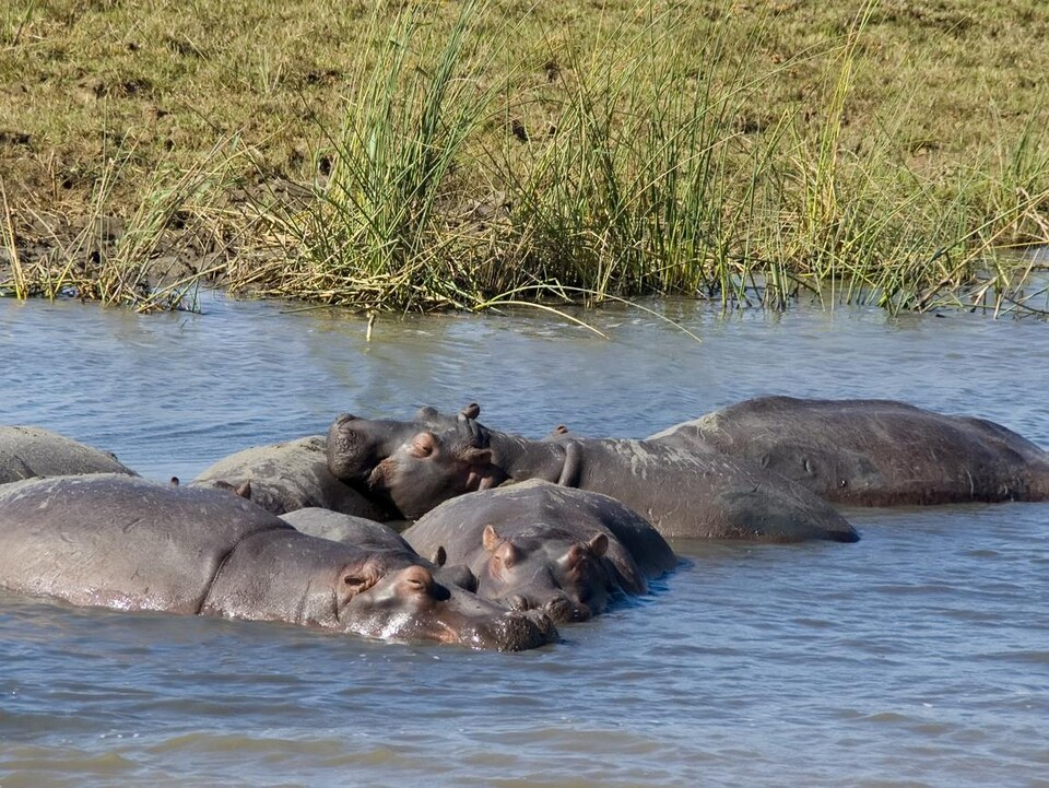 Un groupe d'hippopotames dans une rivière.