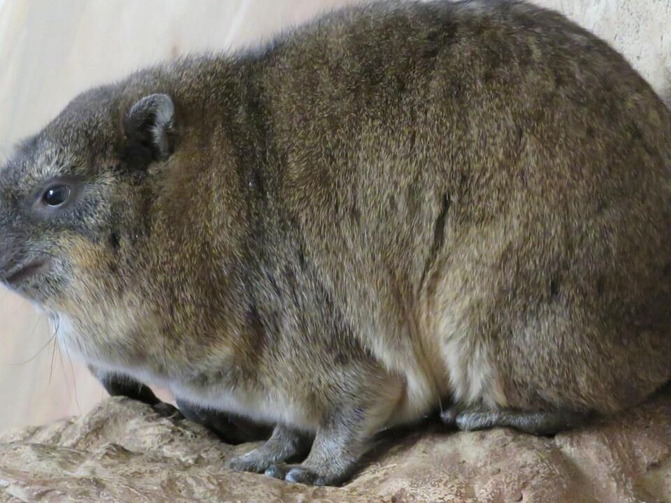 Le daman des rochers passe beaucoup de temps allongé sur sa poitrine.