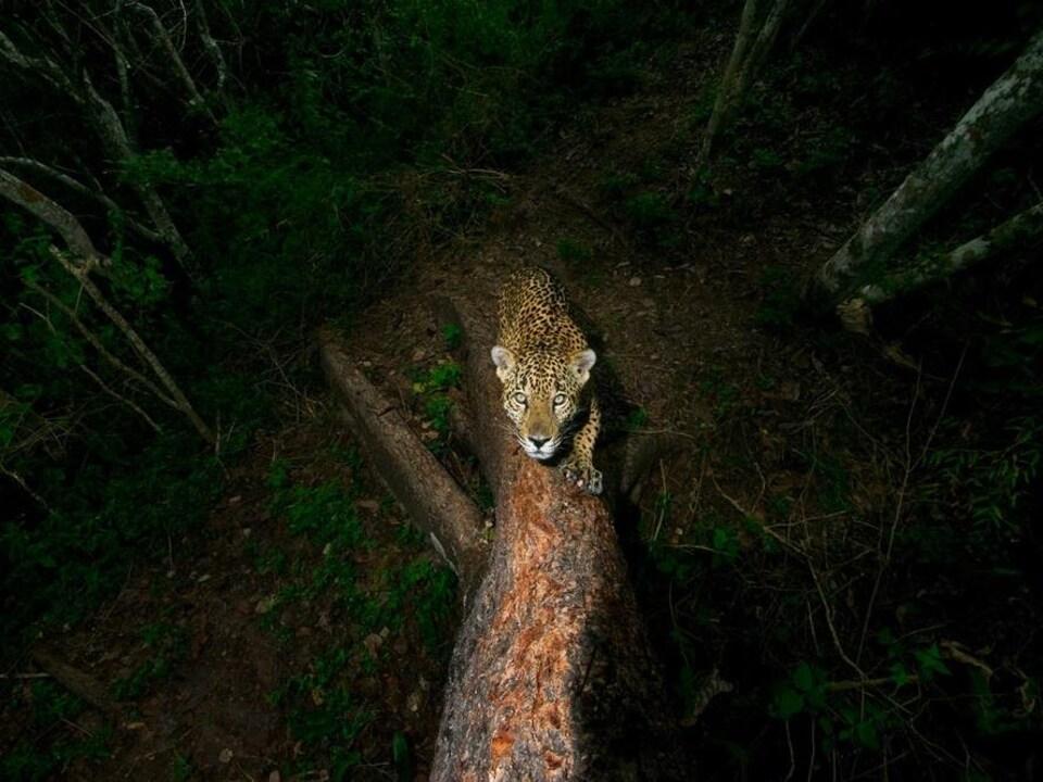 Un jaguar.
