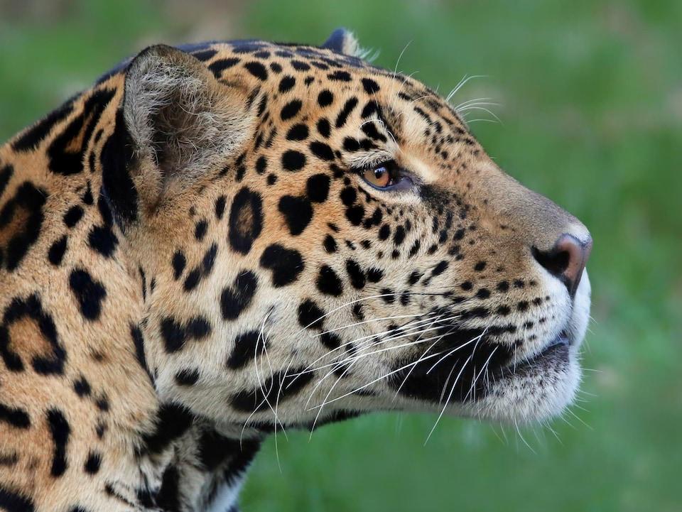 Gros plan sur la tête d'un jaguar.