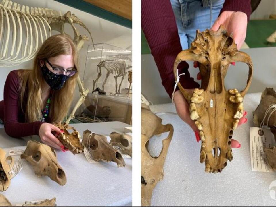 Une chercheuse tient le crâne d'un loup gris.