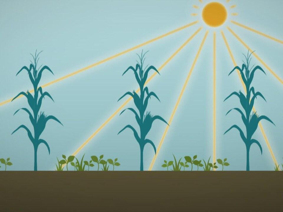 Illustration montrant des plants de maïs et des plantes de couverture.