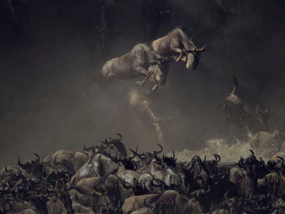 Un troupeau de gnous traversant la rivière Mara en Tanzanie.