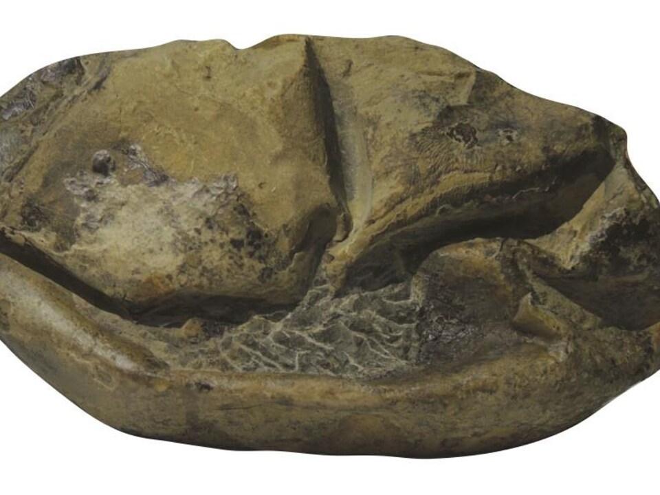 Une vue de côté du fossile de l'œuf.