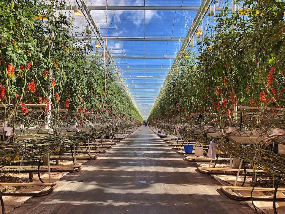 L'allée centrale d'une serre de tomates.