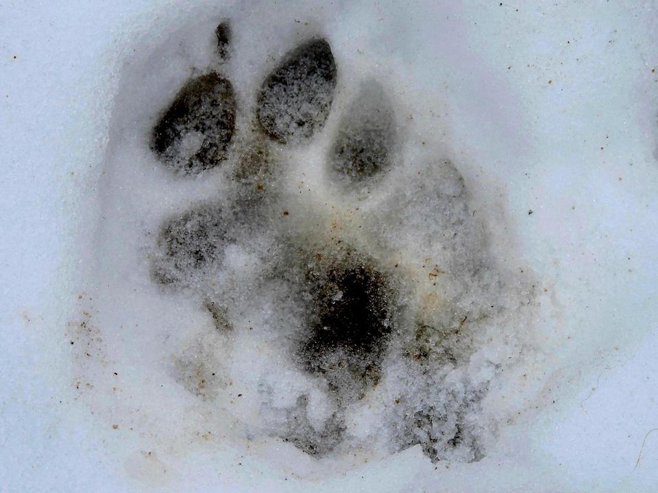 On voit une empreinte de cougar dans la neige.