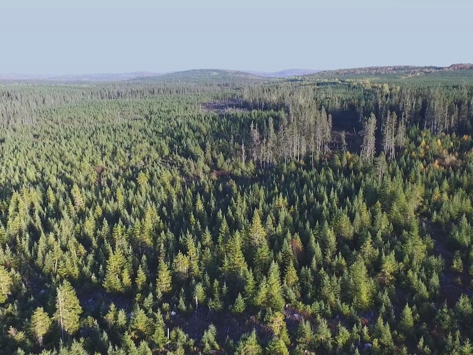 Vue aérienne d'une plantation de conifères.