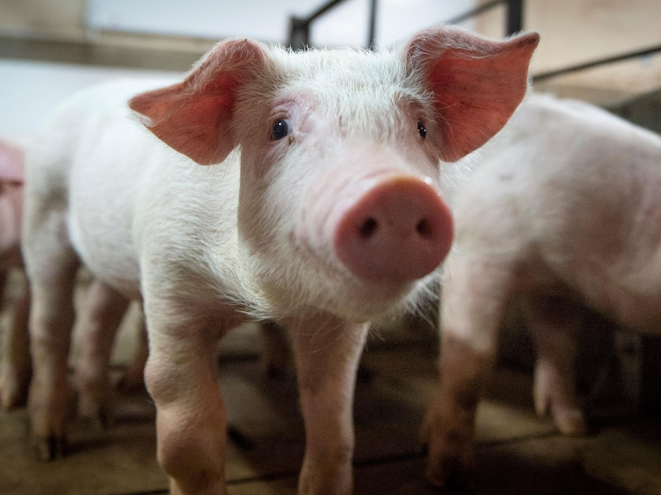 Élevage de porcs à la ferme Meloporc, à Saint-Thomas de Joliette, au Québec.