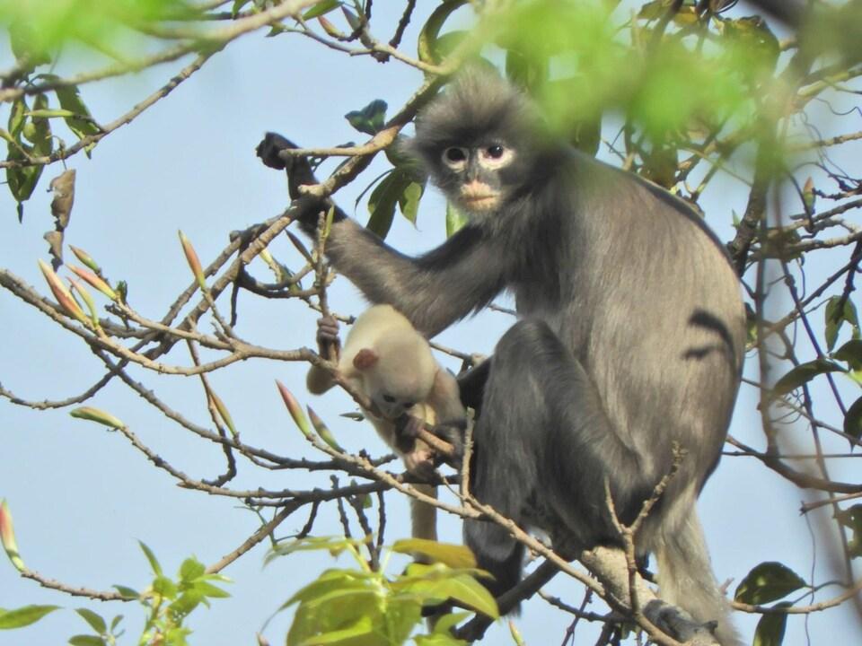 Une femelle langur de Popa avec son bébé dans un arbre.