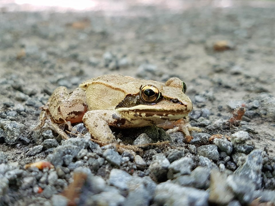 Une petite grenouille sur du gravier.