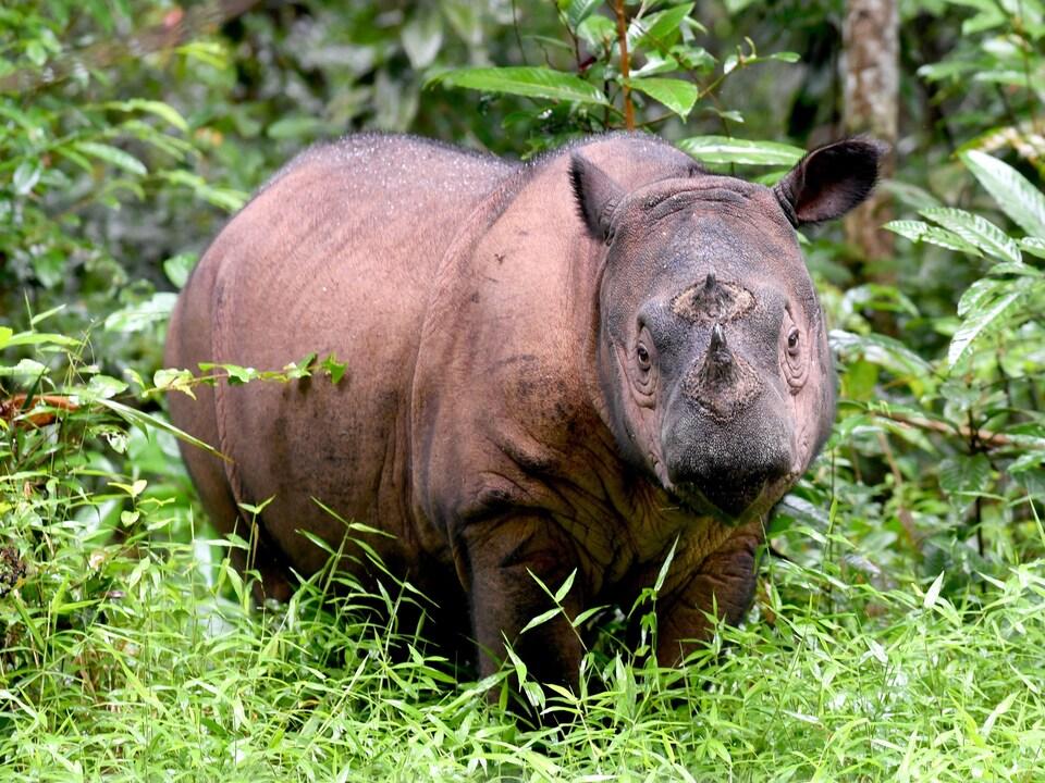 Un rhinocéros de Sumatra est debout aux abords d'une forêt indonésienne.