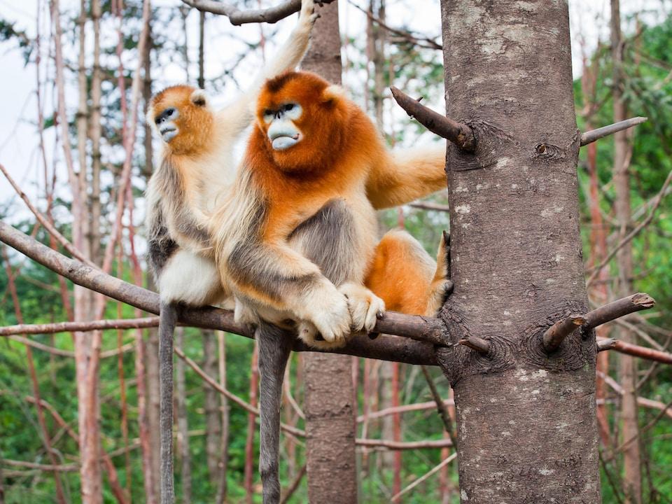 Deux singes dorés.