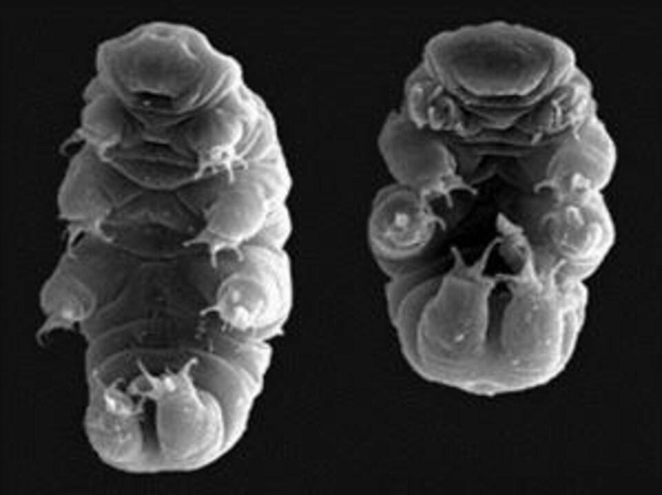 Vue d'un tardigrade au microscope.