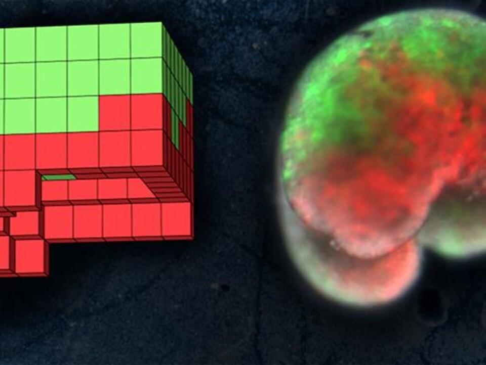 Voici le premier robot conçu à partir de cellules vivantes
