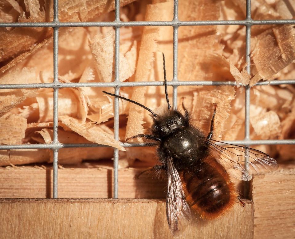 L'abeille est grisâtre et elle marche sur un grillage.