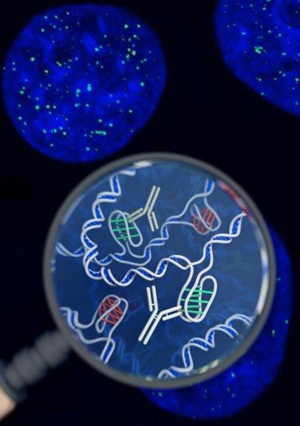 Impression artistique de la structure de l'ADN i-motif à l'intérieur des cellules, ainsi que de l'outil à base d'anticorps utilisé pour la détecter.