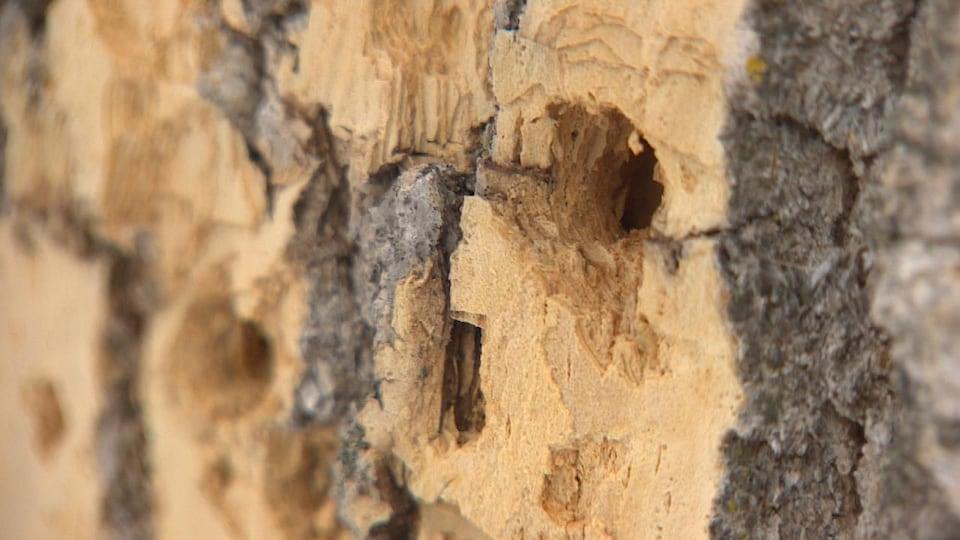 Des galeries laissées par l'agrile du frêne dans un arbre.