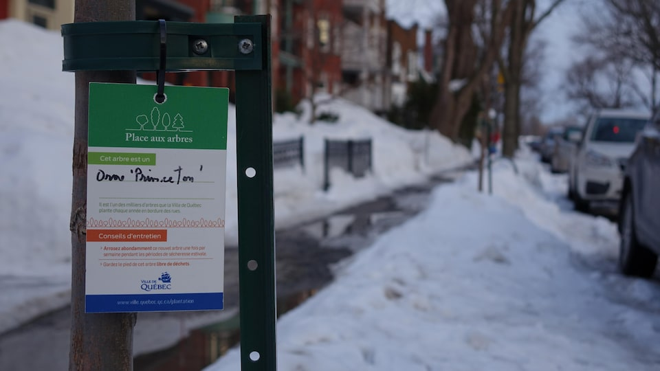 Un orme planté par la Ville de Québec en bordure de la rue du Parc.