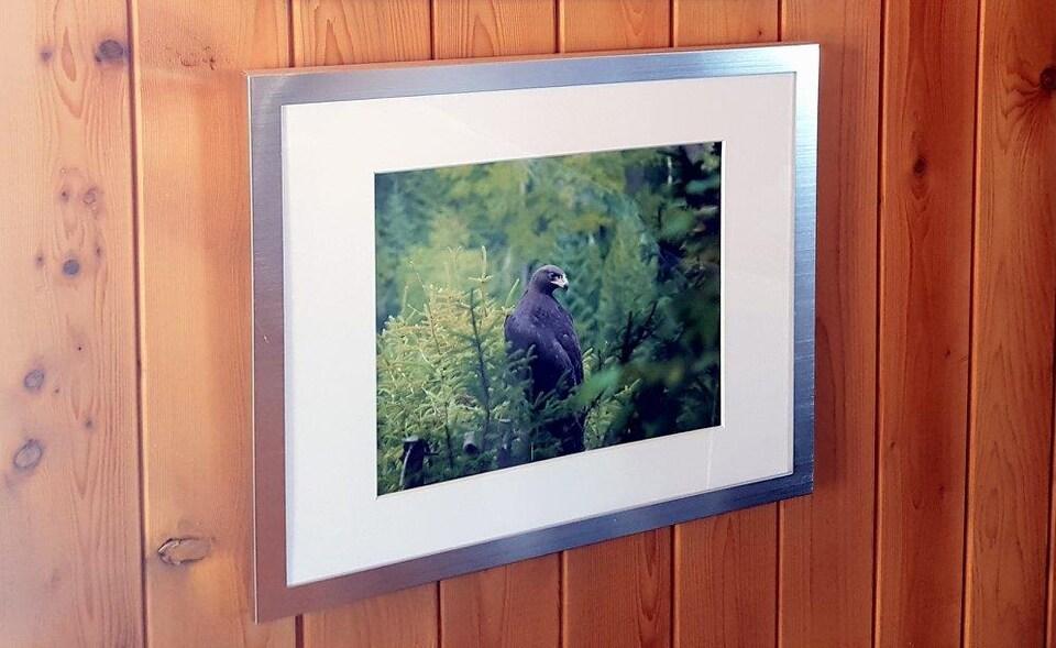 Un aigle royal âgé de trois mois photographié par Louis Fradette