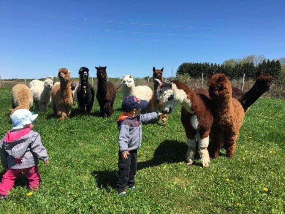 Des enfants visitent Alpagas Portneuf.