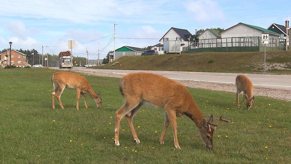 Les chevreuils broutent aux abords du village de Port-Menier, à l'île d'Anticosti.