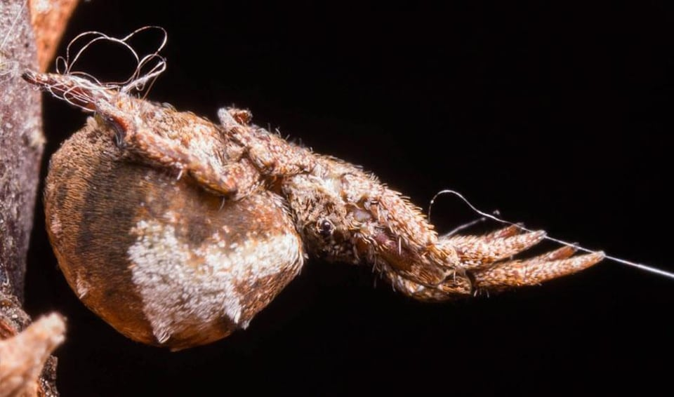 Une araignée de l'espèce Hyptiotes cavatus.