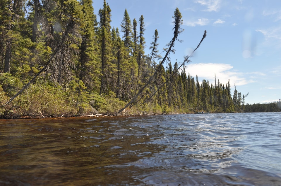 Les arbres riverains de cette vieille forêt se sont penchés et sont tombés dans le lac, au fil des siècles.