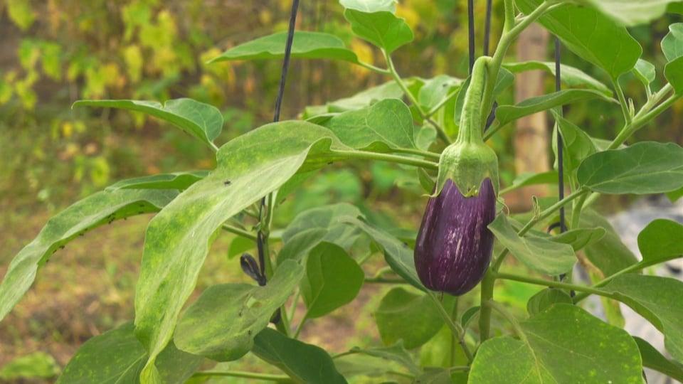 Une aubergine pousse dans un champ