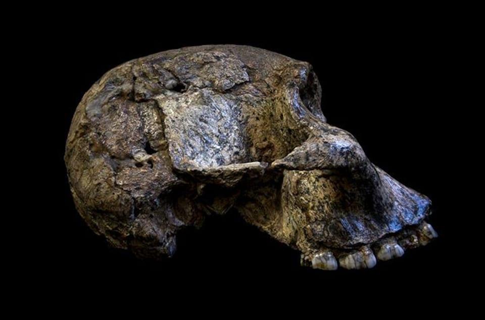 Le crâne d'un Australopithecus africanus.