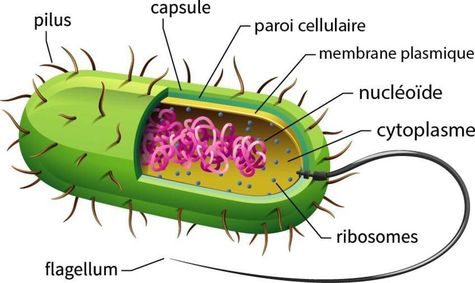 Anatomie d'une bactérie, les pili recouvrant sa surface.