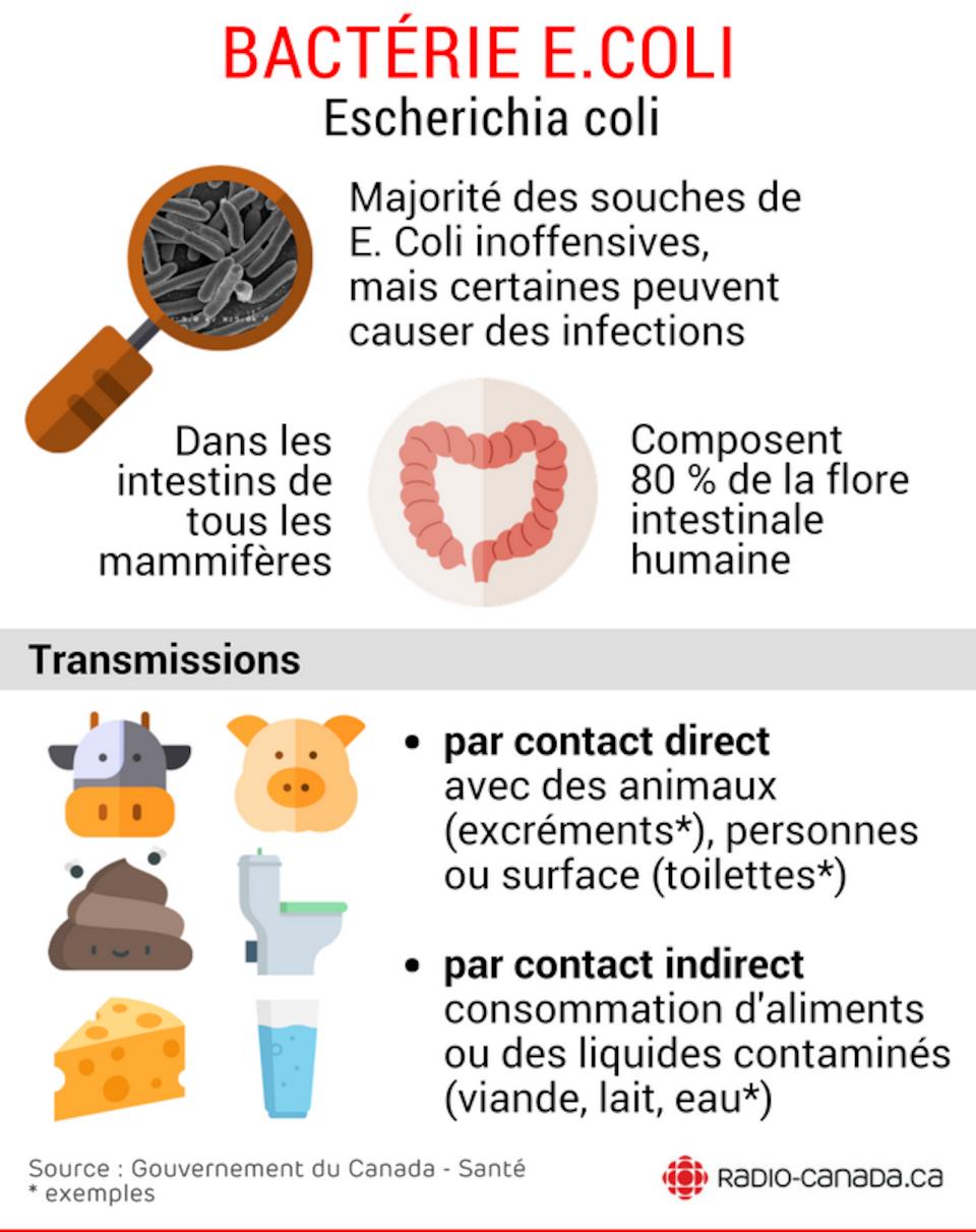 Majorité des souches de  E. Coli inoffensives, mais certaines peuvent causer des infections. Présentent dans les intestins de tous les mammifères. Composent 80 % de la flore intestinale humaine. Transmissions : par contact direct avec des animaux (excréments*), personnes ou surface (toilettes*), par contact indirect consommation d'aliments ou des liquides contaminés (viande, lait, eau*). Source : Gouvernement du Canada - Santé - * exemples