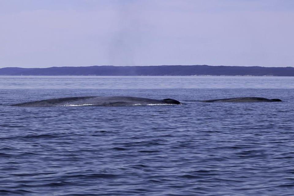Un rorqual bleu et son baleineau dans l'estuaire du Saint-Laurent