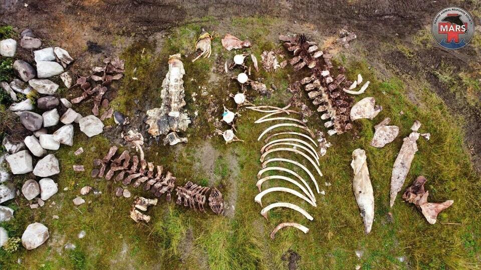 Photo aérienne d'ossements de baleine posés sur l'herbe.
