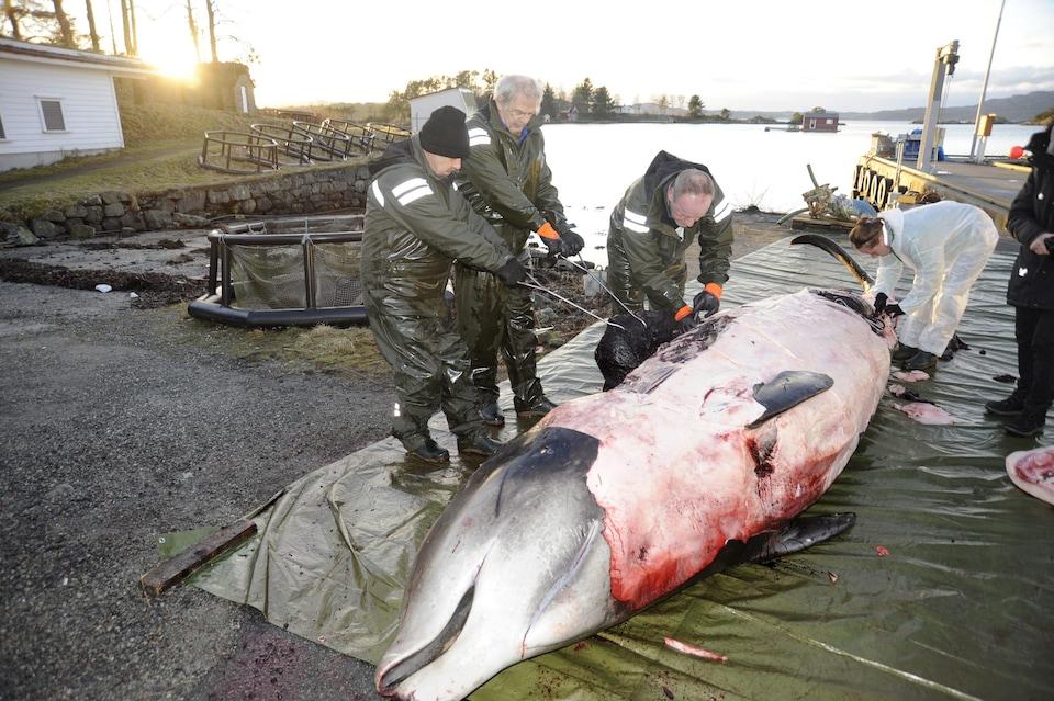 Des hommes étudient la carcasse d'une baleine qui s'est échouée.