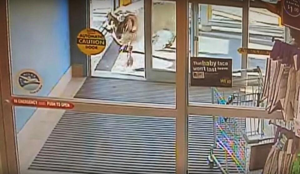 Un bélier passant la porte automatique d'un commerce.