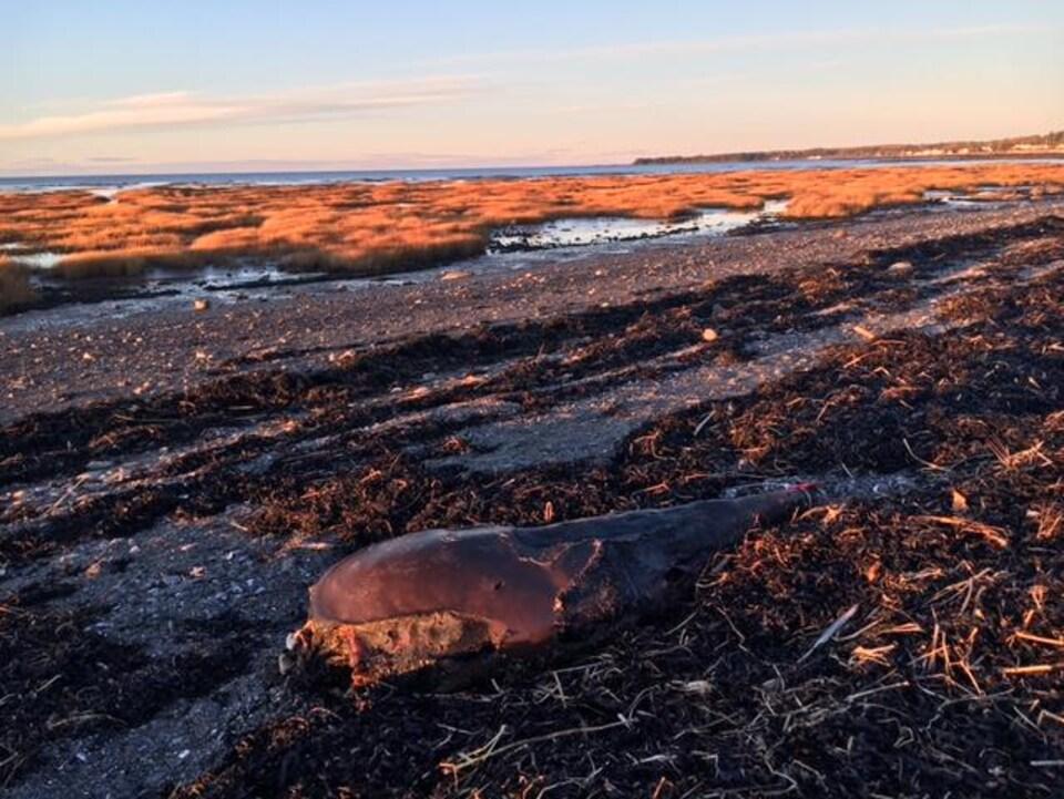 Une carcasse de béluga sur une plage avec en  second plan le fleuve à marée basse.