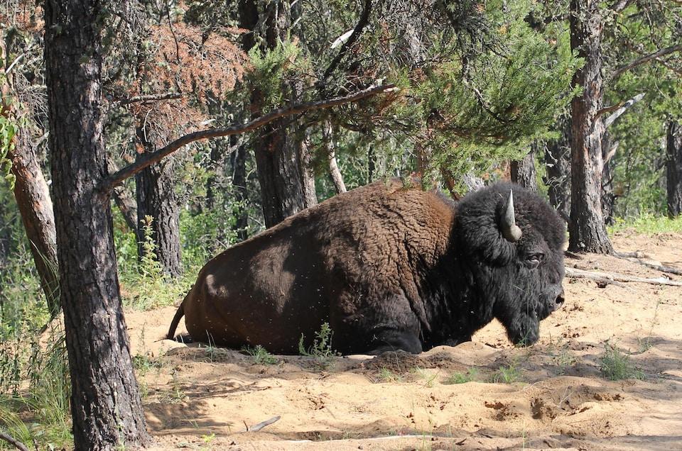 Vue sur un bison couché dans la forêt