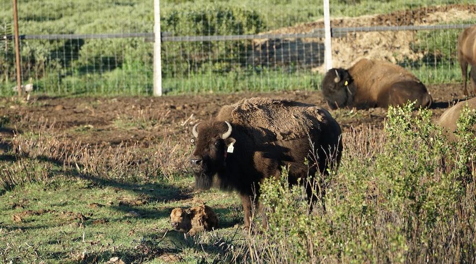 Plusieurs bisons adultes présents dans enclos du Parc national de Banff avec un bisonneau allongé par terre qui vient de naître.