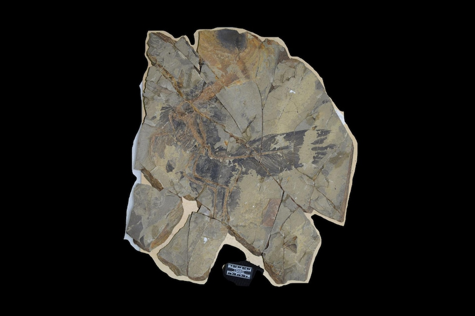 Les restes fossilisés du Caihong juji. Il est possible d'y observer le plumage.