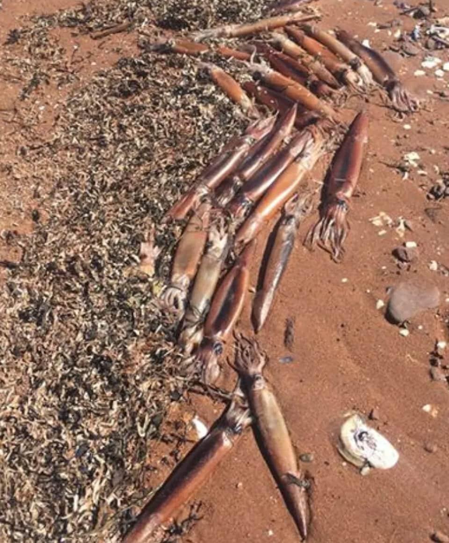 Plus d'une dizaine de calmar mort sur la plage.