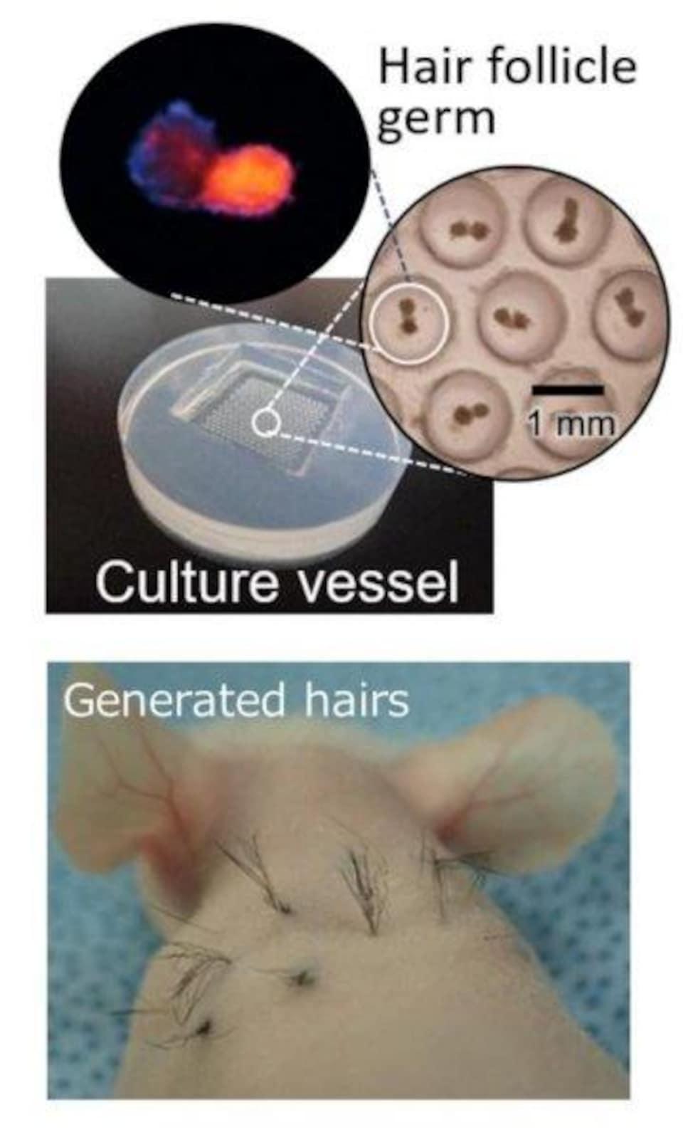 Des cheveux dans le dos d'une souris.