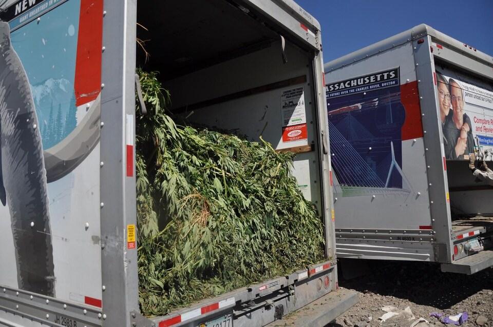 Un chargement de plants de cannabis est intercepté par des agents.