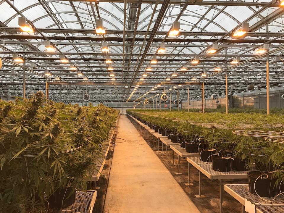 Des centaines de plantes sont placées sur des tables, en rang. Au-dessus des plantes, on peut voir des lunettes et des ventilateurs.