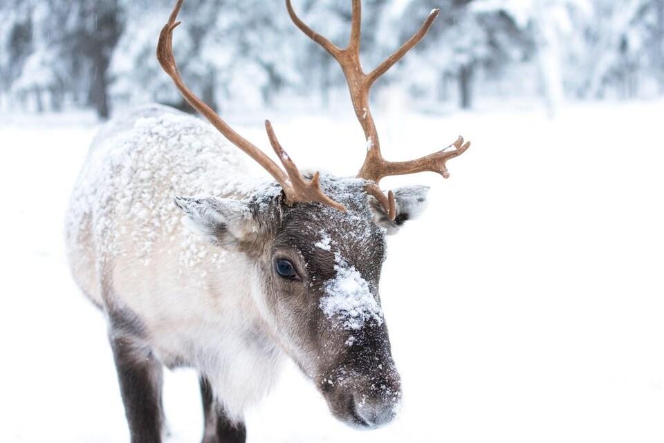 Un jeune caribou au pelage blanc et brun, recouvert partiellement de neige.