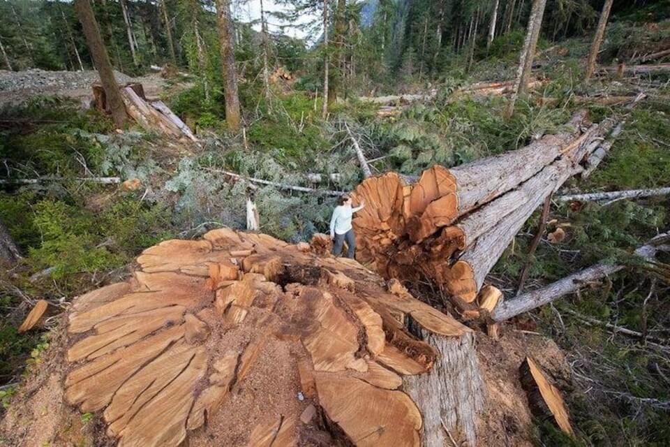 Une personne se tient à côté du tronc massif d'un arbre coupé.