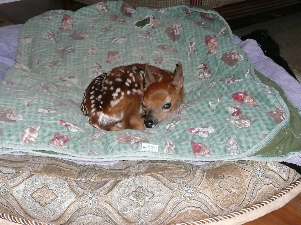 Le faon en 2012, après avoir été trouvé à proximité du cadavre de sa mère.