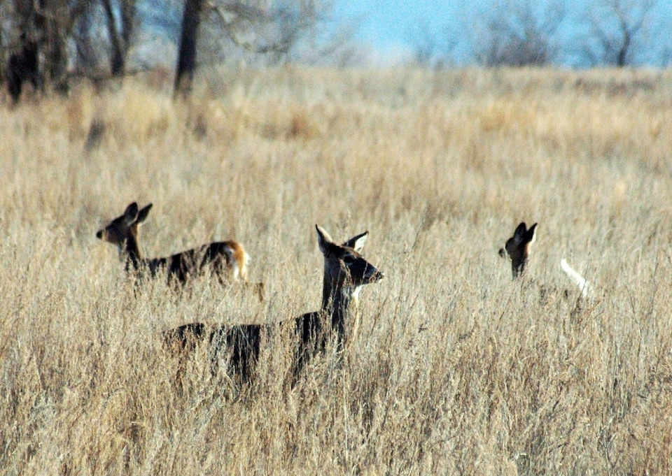 On voit la tête et le dos de jeunes cerfs dans un champ de graminées inondé de soleil.